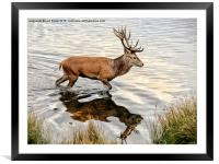 Red Deer Stag , Framed Mounted Print