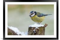 Stunning blue tit wild bird in the snow, Framed Mounted Print