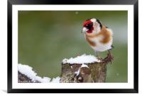 Gold finch sat on a snowy log in winter, Framed Mounted Print