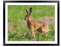 Norfolk's wild hare beautiful close up in early morning sunrise., Framed Mounted Print