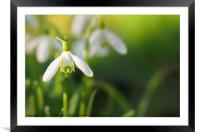 Snowdrops at eye level with copy space, Framed Mounted Print