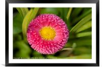 Bellis daisy flower close up in spring time, Framed Mounted Print