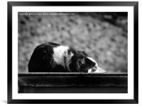 Border Collie, Framed Mounted Print