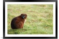 Red Bellied Lemur, Framed Mounted Print