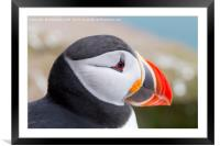 Iceland Puffin, Framed Mounted Print