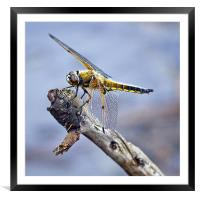 Four-spotted Chaser Dragonfly - Libellula quadrima, Framed Mounted Print