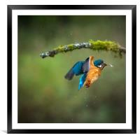 Kingfisher in flight with fish, Framed Mounted Print
