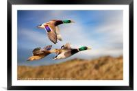 DUCKS ON THE OGMORE RIVER, Framed Mounted Print