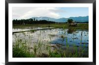 Rice Field, Framed Mounted Print