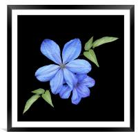 Clematis in the garden, Framed Mounted Print