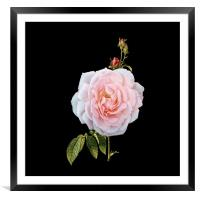 A September Rose, Framed Mounted Print