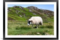 sheep in pasture eating wild grass, Framed Mounted Print