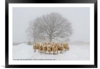 Sheep on a Snowy Misty Morning, Framed Mounted Print