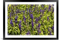 Lavender in Tihany, Hungary, Framed Mounted Print
