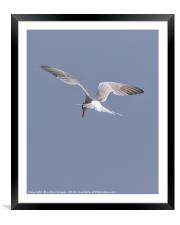 Searching  (common Tern), Framed Mounted Print