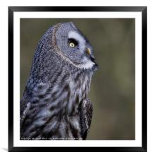 What's going on up there!! Great grey owl (Strix n, Framed Mounted Print