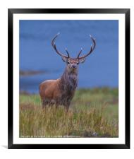 Red Deer Stag, Framed Mounted Print