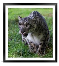 Prowling Snow Leopard, Framed Mounted Print