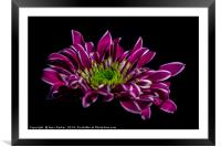 purple flower with white edged petals, isolated, Framed Mounted Print