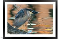 Portrait of a black-crowned night heron, Framed Mounted Print