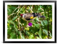 Goldfinch Feeding on Seeds., Framed Mounted Print