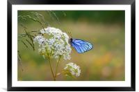 Butterfly with blue wings sits on the field flower, Framed Mounted Print