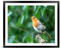Robin 2, Framed Mounted Print