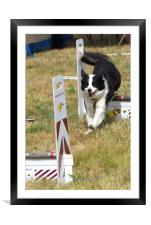 Collie dog in a flyball competition, Framed Mounted Print