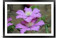 Clematis, Framed Mounted Print