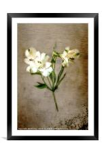 White Lily, Framed Mounted Print