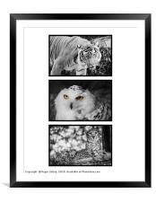 Yellow Eyed Triptych, Framed Mounted Print