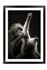 Chacma Baboons Grooming, Framed Mounted Print