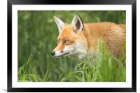 Fox close up portrait, Framed Mounted Print