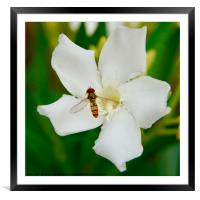 A hoverfly and an oleander flower, Framed Mounted Print