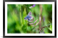 Common Blue Butterfly, Framed Mounted Print