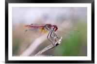 Dragonfly Perched, Framed Mounted Print