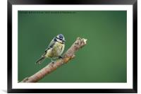 Blue Tit Perched, Framed Mounted Print