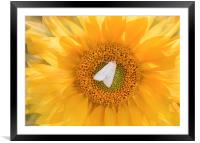 A moth on a sunflower., Framed Mounted Print