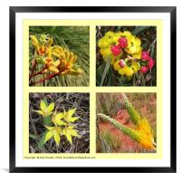 Collection of yellow Australian wildflowers, Framed Mounted Print