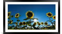 sunflowers in summer, Framed Mounted Print