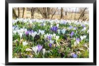 Crocuses on the field in winter, Framed Mounted Print