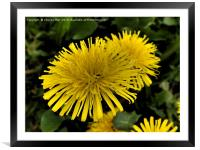 Yellow dandelion flowers, Framed Mounted Print