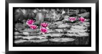 Pink Water Lilies, Framed Mounted Print