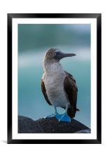 Blue Footed Booby on rocks, Framed Mounted Print