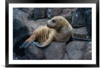 Galapagos Sea Lion sunning itself on lava rocks, Framed Mounted Print