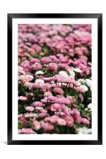 daisy flower nature background spring season, Framed Mounted Print