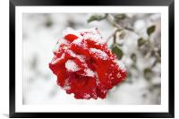 Red rose in snow, Framed Mounted Print