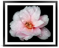 Rainy Camelia, Framed Mounted Print