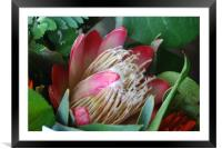 Protea, Framed Mounted Print