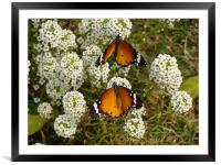 Two butterflies on a white flower... , Framed Mounted Print